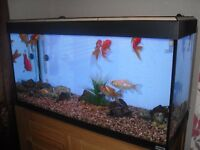 FLUVAL ROMA DESIGNER AQUARIUM 200 LITRES (COMPLETE SET UP) EVERYTHING YOU NEED!
