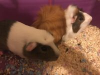 2 friendly male guinea pigs for sale