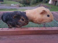 Beautiful baby guinea pigs 😍