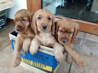 Beautiful Golden Cocker Spaniel Puppies - show type
