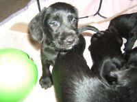 spaniel X miniature poodle kc reg