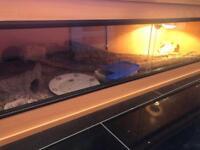 2 adult leopard geckos with 4FT Viv