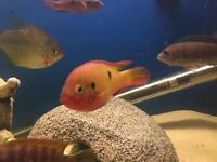 Assorted Cichlid Fish - £6 each