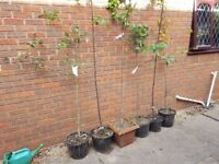 Collection of deciduous trees in large pots