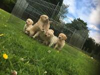 Kc reg golden retriever puppies for sale