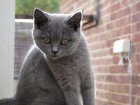 Beautiful British Shorthair Kittens