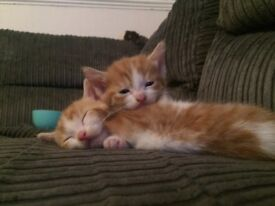Beautiful ginger and white kittens