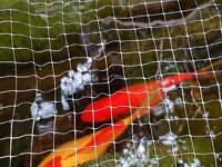 4 Pond fish for sale
