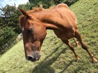 16hh thoroughbred gelding for sale(£200)/full loan/wvtb