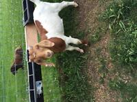 Boer goats-5 wethers for sale