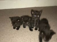 Kittens for sale amesbury