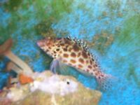 marine fish( 1SOLD 1 LEFT)