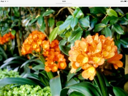 CLIVIA PLANTS IN POTS. Willetton Canning Area Preview