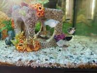 Baby balloon Molly tropical fish