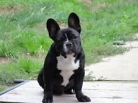 French bulldog KC reg BOY