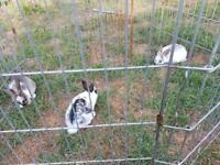 Baby rabbits £15