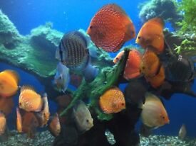 discus fish for sale , these are community tropical fish