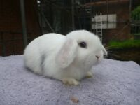 Gorgeous friendly minilop bunnies for sale.