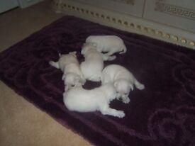 5 white mini schnauzer bitches mum & dad are 5 generation kc