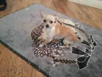 3 month old chihuahua puppy for sale