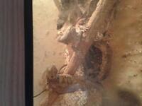 4 Bearded dragons