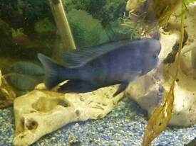 Morri dolphin cichlid