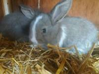 FREE bag of hay & food blue eyed Mini lop babies