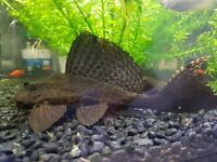 Two lovely plecos