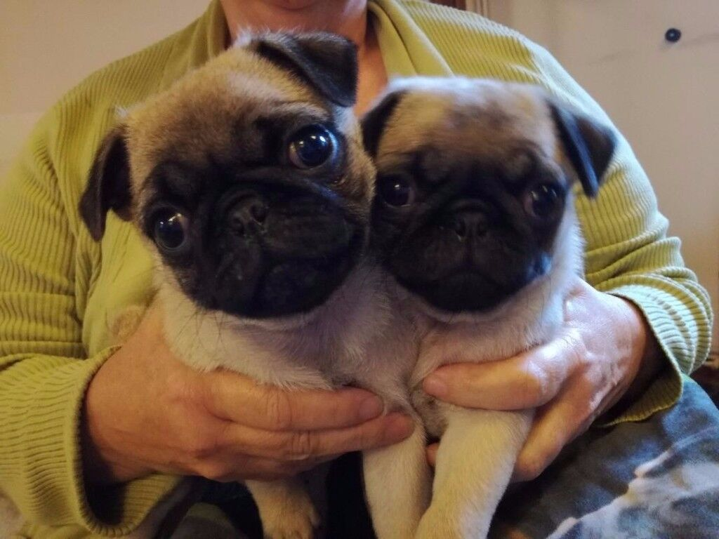 Fawn Pug Puppies