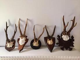 Display Antelope Horns Taxidermy Art 5pcs £120