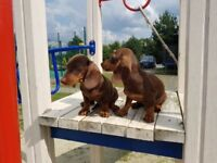 Chocolate dachshunds - 16 wks old. Ready for forever home.