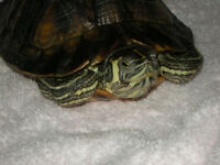 FREE Yellow Bellied Sliders for adoption!