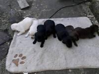 7 beautiful full pedigree labrador puppies
