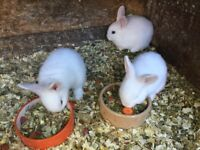 Baby blue eyed white rabbits