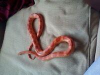 adult corn snake