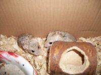 Tame baby Duprasi or fat tailed gerbils