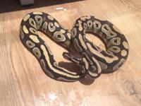 Mojave royal Python and set up