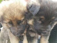 Adorable German Shepherd Puppy's x 5