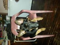 Seven Month Old Mixed Female German Shepherd Puppies