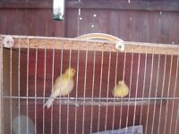 i have two fife canaries .eight weeks old for sale.both with 2017 rings in frome somerset.