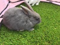 English butterfly rabbits