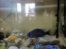 African cichlids for sale
