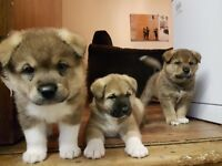 3 beautiful male Japanese akita puppies for sale
