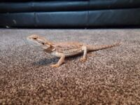 2 year old Male bearded dragon and full set up