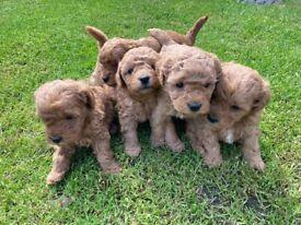 3 female jackapoo puppies very high standard