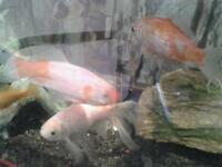 3 large gold fish for sale