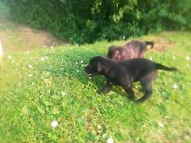 Lovely puppies looking for good and loving home 2 girls 1boy cane corso x staffy