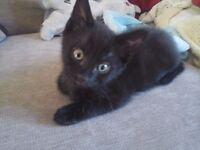 2 Long haired & 1 short haried Black Kittens, for sale