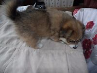 Only 1 remaining Beautiful Pomeranian X puppy