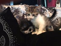kittens ready now age 8 weeks old